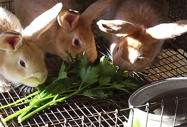 Which weeds can my rabbits eat?
