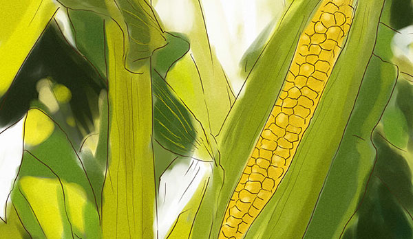 How to grow Sweet Corn from seed