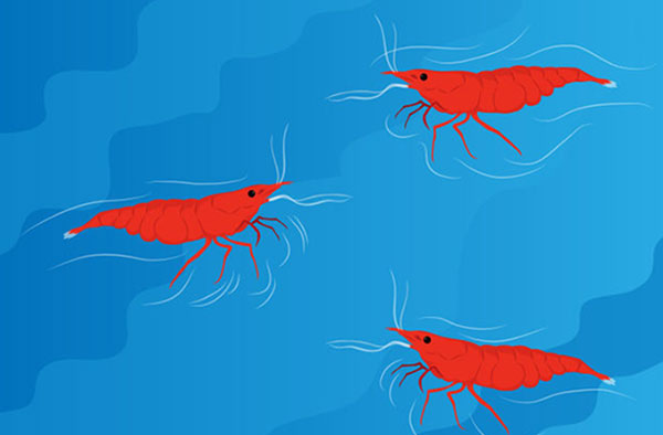 How to breed shrimp at home