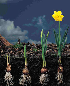 When to plant daffodil bulbs - LetsFixIt