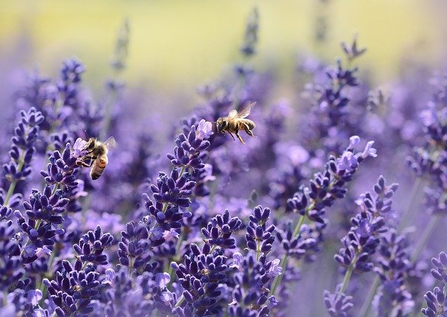 lavender and insects