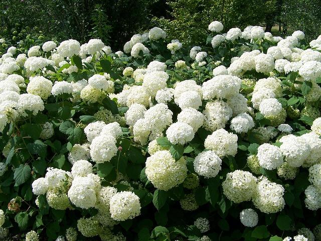 flower chinese snowball